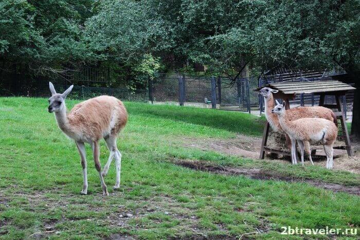 зоопарк прага ламы