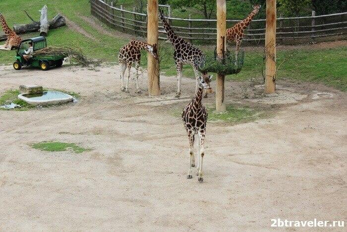 зоопарк прага жирафы