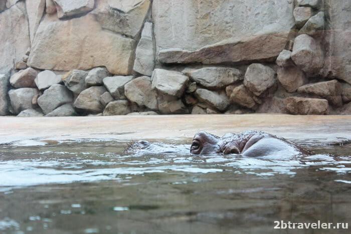 зоопарк прага бегемот