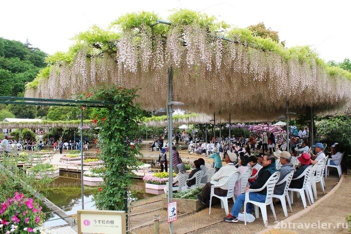 сады глицинии в японии фото