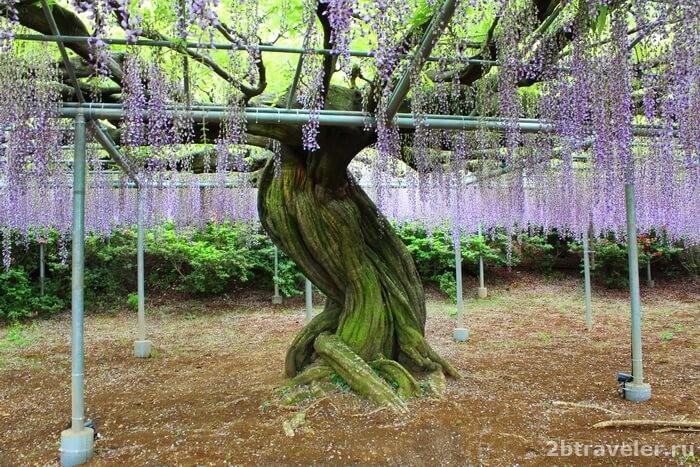 фото парка цветов асикага