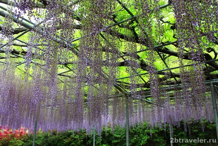 цветущие глицинии в японии