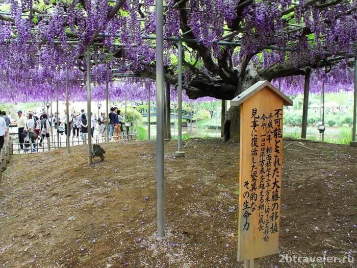 глициния в японии фото