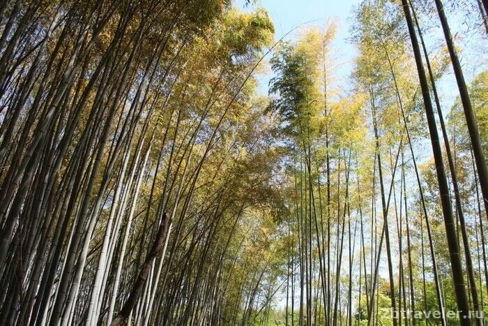бамбуковый лес арасияма