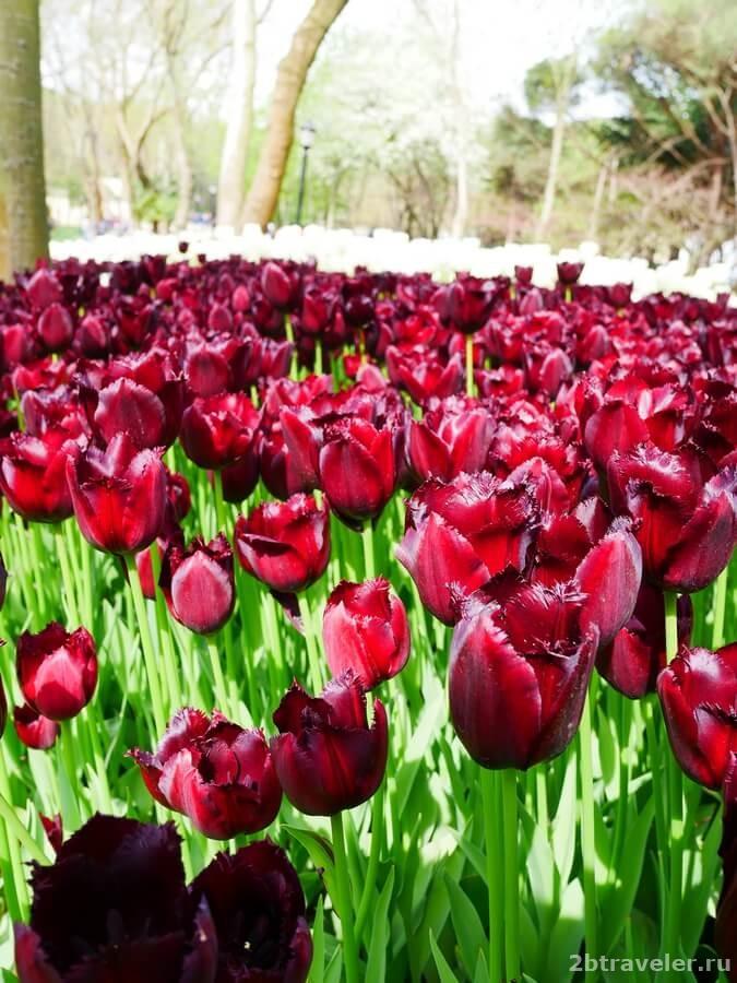 тюльпаны в стамбуле фото