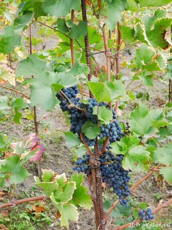 виноградник в праге